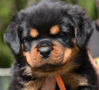 Youth Puppy And Adult Rottweilers For Sale